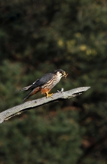 hobby bird of prey