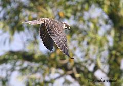 juvenile hobby Falco subbuteo