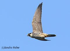 juvenile hobby Falco subbuteo raptor