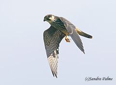 juvenile hobby in flight