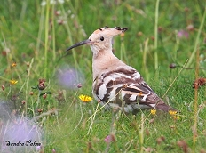 Hoopoe Coulsdon