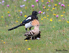 Hoopoe and Magpie photo