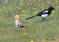 Hoopoe and Magpie birds