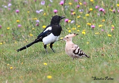 Hoopoe and Magpie