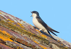house martin calling