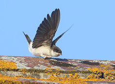 house martin wings