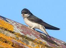 juvenile house martin bird