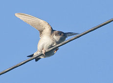 house martin wire