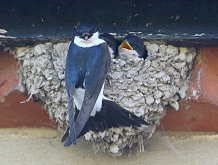 house martin nest chicks