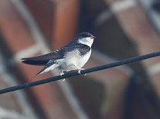 juvenile house martin bird photo