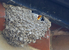 house martin chick bird photo
