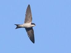 house martin in flight bird photo