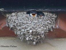 house martin chicks in the nest birds