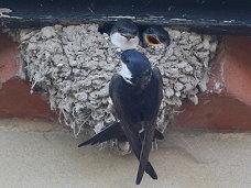 house martin feeding chicks in the nest birds