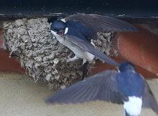 house martins birds Delichon urbicum