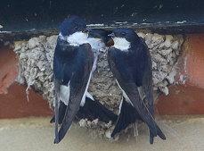 house martin family bird photo