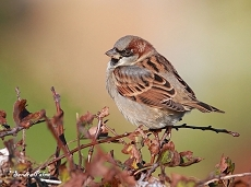 house sparrow West Sussex