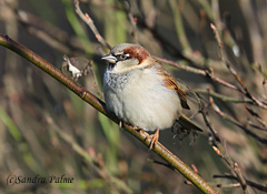 House Sparrow Sussex