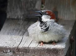 male house sparrow calling bird