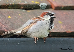 male house sparrow calling