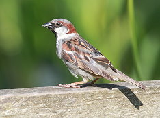 male house sparrow bird