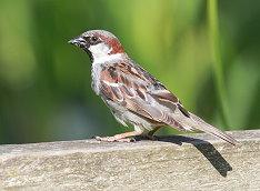 male house sparrow bird