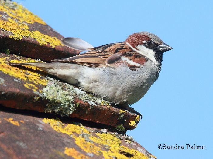 House Sparrow - bird photos by Sandra Palme