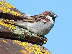 male house sparrow bird picture