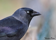 Jackdaw picture