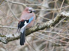 Jay Garrulus glandarius bird