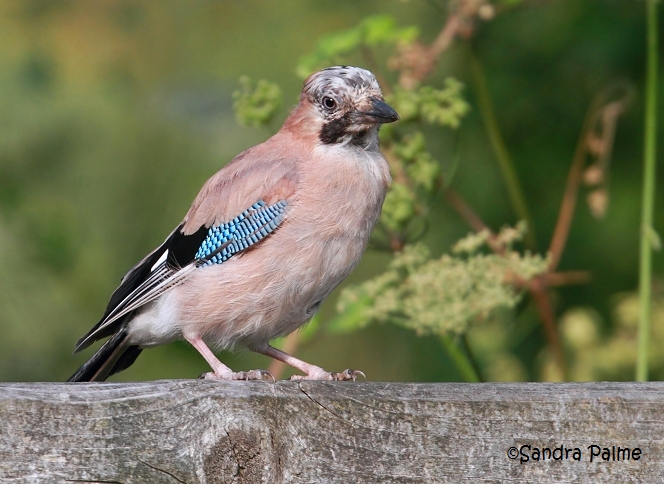 moulting jay