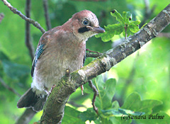 Jay fledgling