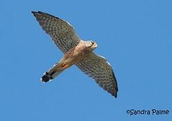 male kestrel flight