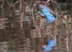 kingfisher in flight photo
