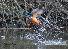 kingfisher in flight