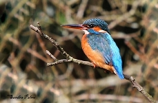 female kingfisher photo