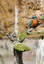 kingfisher photo