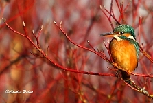 kingfisher bird photo