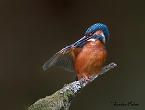 male kingfisher preening