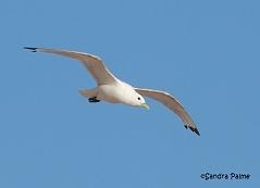 Kittiwake in flight gull