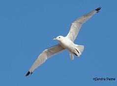 adult Kittiwake in flight