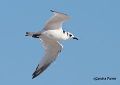 juvenile kittiwake in flight gull