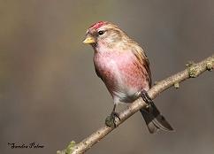 Male Lesser Redpoll Warnham LNR Sussex