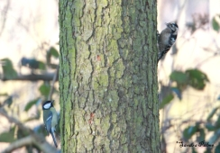 female lesser spotted woodpecker