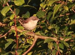 female lesser Whitehthroat