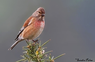 Male linnet photo