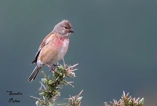 Male linnet on gorse