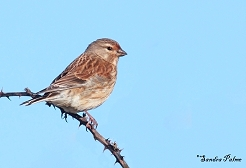 "female linnet"" height="
