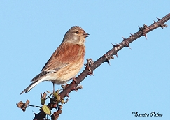 "male linnet finch"" height="