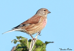 "male linnet"" height="